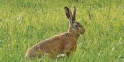 Der Feldhase profitiert – hier beim Naturschutzgebiet Spitzmäder. (Bild: pd)