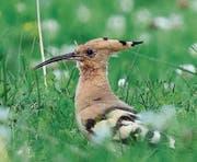 Der Wiedehopf ist ein markanter Vertreter der hiesigen Vögel. (Bild: pd)