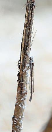 Die Libellen verfügen über eine Art «Frostschutz» im Blut, das ein tödliches Gefrieren der Körperflüssigkeit verhindert. (Bilder: Daniela Ebinger)