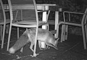 Ein Fuchs interessiert sich zu später Stunde für einen Gartensitzplatz an der Lilienstrasse. (Bild: pd)