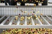 Bei Möhl in Arbon werden Äpfel angeliefert. (Bild: Mareycke Frehner)