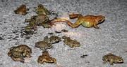 Erdkröten und ein Grasfrosch auf dem Weg zu den Laichgewässern im Naturschutzgebiet Moosanger. (Bilder: Susi Miara)