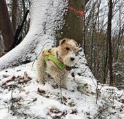 In der Altjahrswoche ist die Foxterrier-Hündin Iluq verschwunden. (Bild: PD)