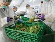 Nach der Ernte werden die Cannabispflanzen manuell vorsortiert, bevor sie in den weiteren Verarbeitungsprozess gelangen. (Bild: Karin Erni)