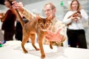 Ein Jurymitglied beurteilt eine Abyssinian Kurzhaarkatze an der Cats 09. (Bild: Keystone)