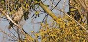 Die Drosseln pflücken Mistelbeeren und verbreiten die Futterpflanzen. (Bild: gg)
