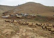 Gut getarnt: Die Schafe von Beduinenfamilien. (Bild: PD)