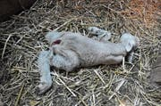So fand Richard Neururer gestern Morgen das tote Lämmlein bei sich im Stall in der Salmsacher Bucht. (Bild: Markus Schoch)