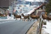 Rothirsche überqueren die Hauptstrasse in Gams im Januar 2012. (Bild: PD)