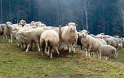 Wanderschafe beissen die Gräser kürzer als die Rinder und doch nicht so kurz wie die Pferde.