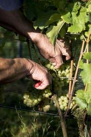 Beim Biobetrieb ist die schonende und aufmerksame Arbeit im Rebberg elementar, vom sorgsamen Schnitt bis zu den Laubarbeiten. Die Trauben werden von Hand geerntet, der Boden wird schonend gepflegt. (Bild: Mareycke Frehner)