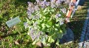 Jeder darf sich bedienen: Ein Topf voll mit Kräutern, gepflegt vom Wohnheim Waldegg. (Bild: Jonas Manser)