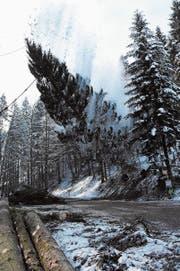 Mit Getöse fällt der Baum über die Dickenstrasse (Bild: Urs M. Hemm)