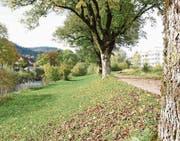 Viele Bäume entlang der Thur in Wattwil werden wegen der Thursanierung gefällt. (Bild: Urs M. Hemm)