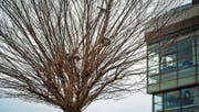 Perfektes Versteck: Das Trottinett im Baum. (Bild: Benjamin Manser)