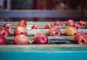 Bei der Tobi Seeobst AG sind letztes Jahr deutlich weniger Ostschweizer Äpfel eingelagert worden. (Bild: Reto Martin)