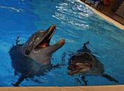 Noch sind sie die Attraktion im Connyland: Zwei Delphine schwimmen in der Lagune des Thurgauer Freizeitparks. (Bild: Daniela Ebinger)
