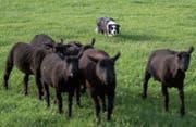 Konzentriert lenkt der Border Collie die Schafe in die vorgegebene Richtung. (Bilder: Benjamin Manser (20. Mai 2015))