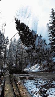 Mit Getöse und grossem Schneegestöber fällt der Baum quer über die Dickenstrasse. (Bilder: Urs M. Hemm)