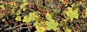 Gelbe Blüten bringen Farbe in den Wintergarten