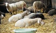 An Botulismus erkrankte und erschöpfte Schafe auf dem Hof von Urs Maier in Iselisberg. (Archivbild: Donato Caspari)