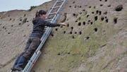 Gut zweihundert Löcher kann Françoise Schmit, Mitarbeiterin beim Schweizerischen Vogelschutz, in der künstlichen Sanddüne in der ehemaligen Kiesgrube in Niederstetten vermessen. (Bild: Kathrin Meier-Gross)
