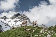 Eine Steinbockherde auf dem Rotsteinpass, direkt unter dem Säntis –eines von vielen Bildern, die Silvan Widmer auf Instagram präsentiert. (Bild: Silvan Widmer I Nordwand AG)