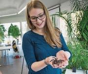 Offensichtlicher Fortschritt: Nach dem Angstseminar kommt Jenifer Stanley mit der «flauschigen» Kraushaar-Vogelspinne schon gut zurecht. (Bild: Ralph Ribi (Walter-Zoo, 29. Oktober 2016))