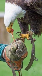 Im Greifvogelpark des Ehepaars im Kanton St. Gallen hat es unter anderem Weisskopfadler. (Bild: Benjamin Manser)