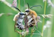 «Biene Majas wilde Schwestern»: Der Film wird am Sonntag am Natur- und Tierfilmfestivals im Naturmuseum gezeigt. (Bild: PD)