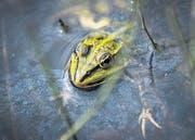 Naturschutzgebiet Espen: Reich auch an spannenden Amphibien. (Bild: Urs Bucher (Urs Bucher))