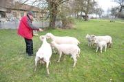 Der 86-jährige Richard Neururer füttert seine Schafe. (Bild: Markus Schoch)