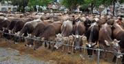 Kühe, wohin das Auge reicht. 383 waren es gestern an der Viehschau in Herisau. (Bilder: Gianni Amstutz)