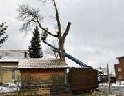 Arbeiter schneiden den prächtigen Nussbaum in Schocherswil zurück.