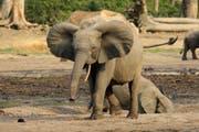 Forest elephants displaying rounded ears in Dzanga Bai, CAR (Bild: WWF Schweiz)