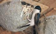 Eine Mehlschwalbe an einem Kunstnest beim Füttern der Jungen. (Bild: PD)