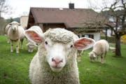 Sieben Schafe wurden durch die Fehlschüsse getötet. (Bild: Urs Bucher)