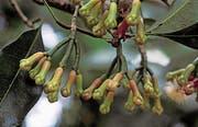 Der Gewürznelkenbaum braucht bis zur vollen Fruchtbarkeit 20 Jahre. (Bilder: Getty)