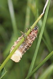 Ein Weibchen bringt sich am Tag in die richtige Position, .... (Bild: Fotolia/pd)