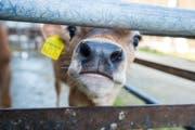 Ein Rind auf einem Hof in Wängi: Bauern arbeiten im Schaufenster. Geht es einem Tier schlecht, wird das sofort kommentiert. (Bild: Andrea Stalder)