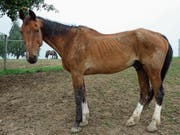 Skandal 2012: Das Veterinäramt des Kantons St. Gallen beschlagnahmte 22 verelendete Pferde einer Halterin in Andwil. (Bild: PD (Andwil, 4.9.2012))