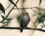 Der Grauschnäpper, ein unscheinbar grauer Kleinvogel, der auf exponierten Warten steht und Insekten im kurzen Jagdflug erbeutet. (Bild: Fredy Buchmann)