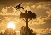 Storchenfamilie beim Abendmahl (Bild: Christof Sonderegger)