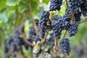 Aus Blauburgunder-Trauben wird der Pinot Noir gemacht. (Bild: Reto Martin (Symbolbild))