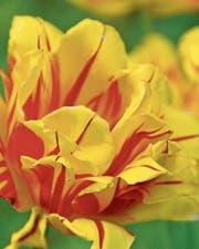 Eine simple, geflammte Tulpenblüte brachte Spekulanten in Holland in den Ruin. (Bild: Bert Stankowski)