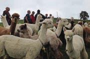 Die Wanderer waren fasziniert von den im Neckertal lebenden Alpakas. (Bild: PD)
