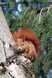 Ein fuchsrotes Eichhörnchen guckt neugierig, von wem es fotografiert wird. (Bild: Barbara Weber)
