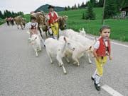 Zu einer traditionellen Alpfahrt gehören Appenzellerziegen dazu. (Bild: Reto Martin)