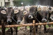 Bauern sollen für Kühe mit Hörnern - hier an der Viehschau in Trogen - mehr Subventionen erhalten. (Bild: Mareycke Frehner/Symbol)