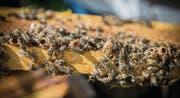 In solchen Zellen ziehen die Bienen neue Königinnen heran, um danach zu schwärmen. (Bild: Urs Bucher (Gams, 3. Juli 2014))